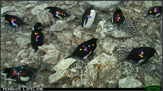 Photo of penguins, with an overlay of dots representing clicks by Penguin Watch volunteers